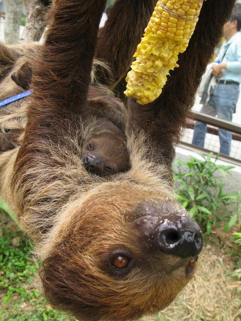 壽山動物園雙胞胎樹懶寶寶滿月囉!